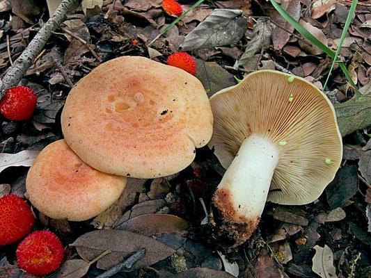 Lactarius chrysorrheus Fr. (NON COMMESTIBILE) Foto Emilio Pini