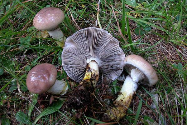 Gomphidius glutinosus (Schaeff.) Fr. (COMMESTIBILE)  foto Emilio Pini