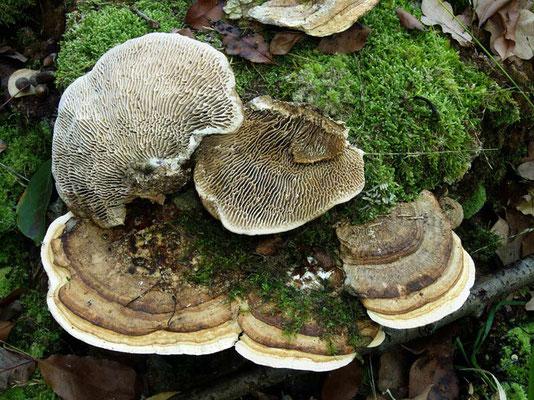 Daedalea quercina (L.) Pers. (NON COMMESTIBILE) Foto Emilio Pini