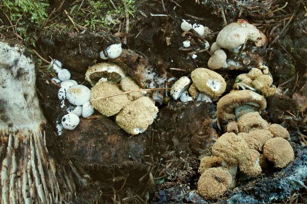 Nyctalis agaricoides (Fr.) Bon & Courtec. 1989 (NON COMMESTIBILE) Foto Emilio Pini