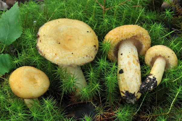 Lactarius repraesentaneus Britzelm. (NON COMMESTIBILE) Foto Emilio Pini