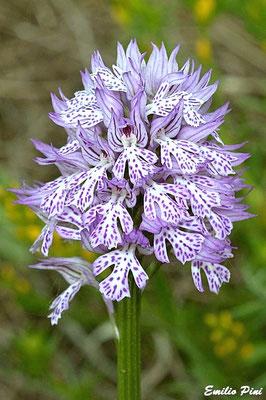 Neotinea tridentata (Regione Piemonte)