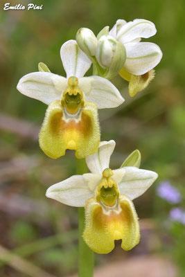 Ophrys tentredinifera neglecta apocromatica