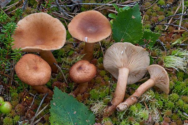 Lactarius tabidus Fr. (NON COMMESTIBILE) Foto Emilio Pini