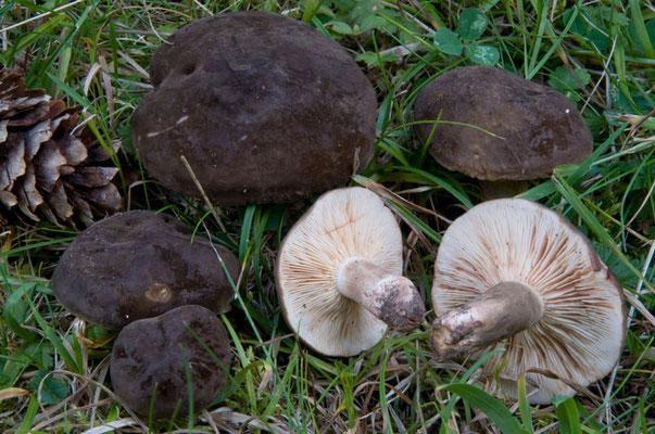 Lactarius picinus Fr. (NON COMMESTIBILE) Foto Emilio Pini