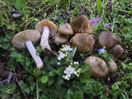 Entoloma clypeatum (L.) P. Kumm. (COMMESTIBILE) Foto Emilio Pini