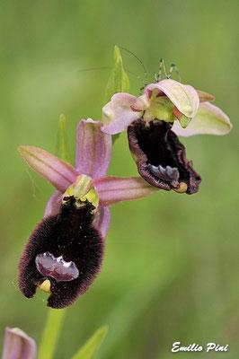 Ophrys benacensis