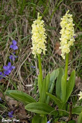 Orchis pallens (Regione Emilia Romagna)