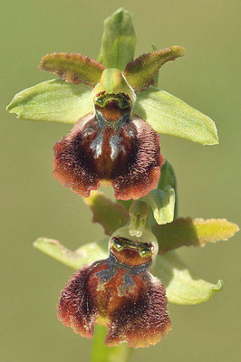 Ophrys sphegodes subsp maritima (Regione Liguria)