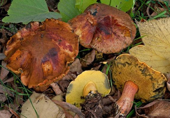 Boletus poikilochromus Pöder, Cetto & Zuccher. (NON COMMESTIBILE) Foto Emilio Pini