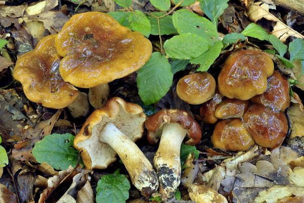 Tricholoma ustale (Fr.) P. Kumm. (NON COMMESTIBILE) Foto Emilio Pini