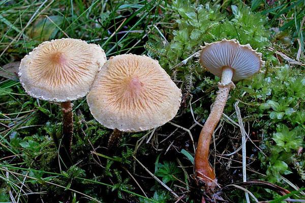 Cystoderma amianthinum f. rugosoreticulatum (F. Lorinser) Bon  (NON COMMESTIBILE)  Foto Emilio Pini