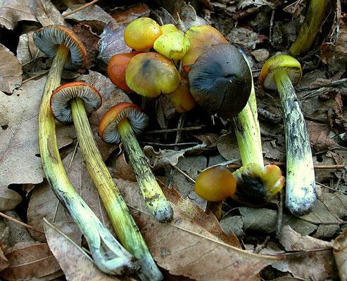Hygrocybe nigrescens (Quél.) Kühner  (VELENOSO) Foto Emilio Pini