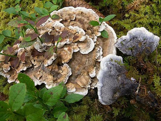 Hydnellum suaveolens (Scop.) P. Karst. (NON COMMESTIBILE) Foto emilio Pini