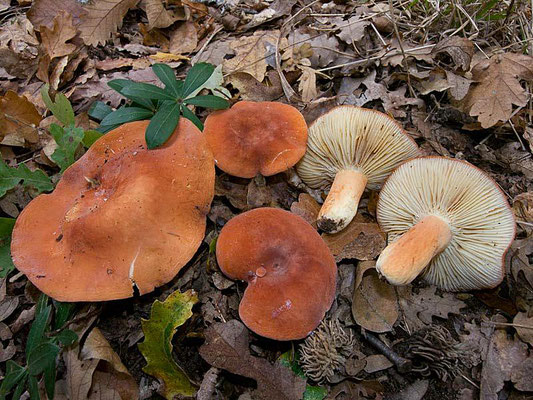 Lactarius rugatus Kühner & Romagn. (COMMESTIBILE) Foto Emilio Pini