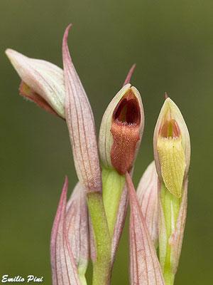 Serapias parviflora