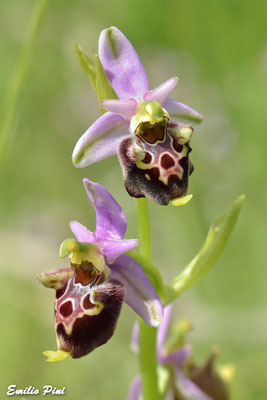 Ophrys dinarica (Regione Abruzzo)
