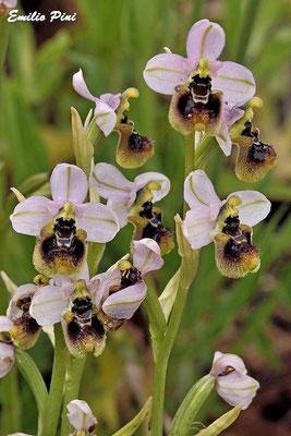 Ophrys tentredinifera neglecta  Sardegna
