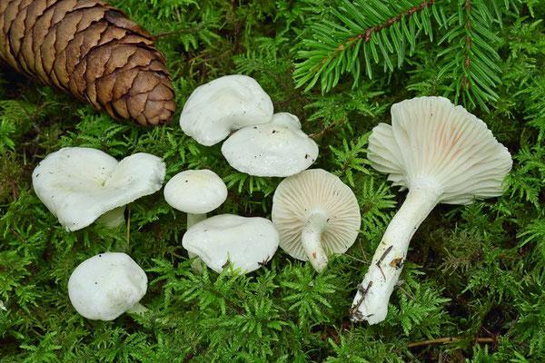 Hygrophorus piceae Kühner (COMMESTIBILE) Foto Emilio Pini