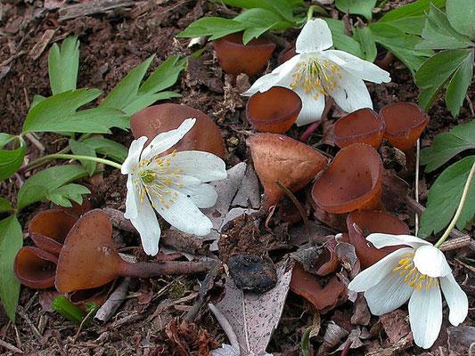 Dumontinia tuberosa (W. Phillips) L.M. Kohn (NON COMMESTIBILE)  Foto Emilio Pini