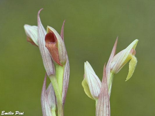 Serapias parviflora (Regione Toscana)