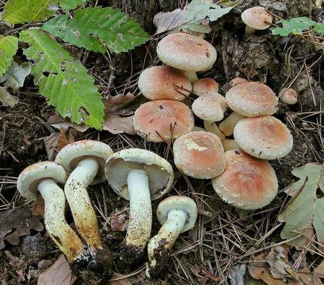 Hypholoma sublateritium (Fr.) Quél. (VELENOSO) Foto Emilio Pini