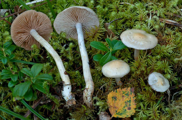 Cortinarius betulinus J. Favre (NON COMMESTIBILE) Foto Emilio Pini