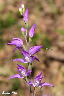 Cephalanthera rubra con impollinatore