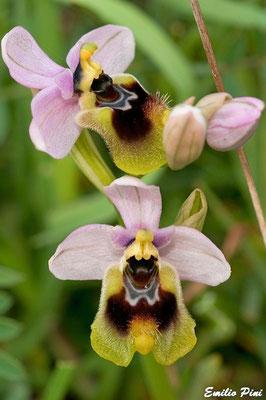 Ophrys tentredinifera   Puglia