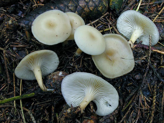 Clitocybe phaeophthalma (Pers.) Kuyper (NON COMMESTIBILE)                            Foto Emilio Pini