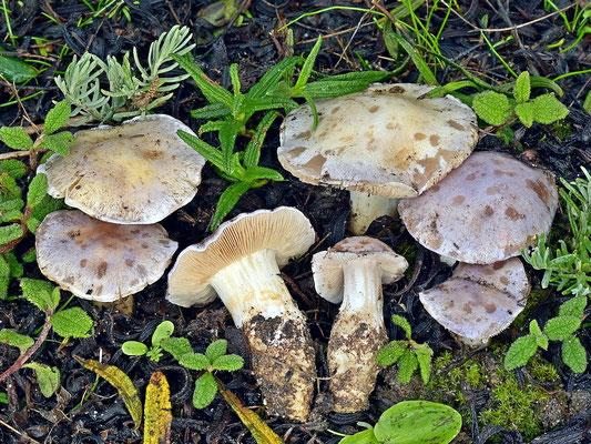 Cortinarius coeruleopallescens Contu  (NON COMMESTIBILE) Foto Emilio Pini