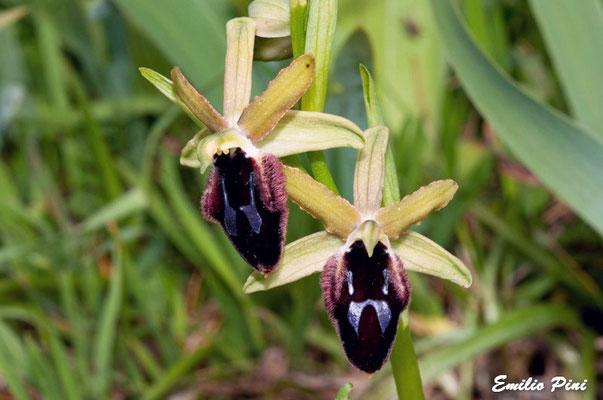 Ophrys promontori