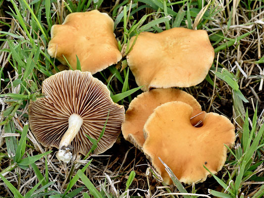 Agrocybe putaminum (Maire) Singer (NON COMMESTIBILE) Foto Emilio Pini
