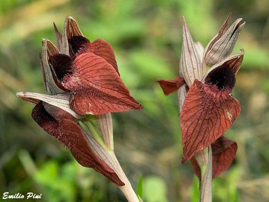 Serapias cordigera (Toscana)