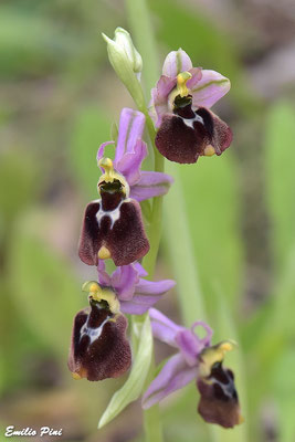 Ophrys x laconensis