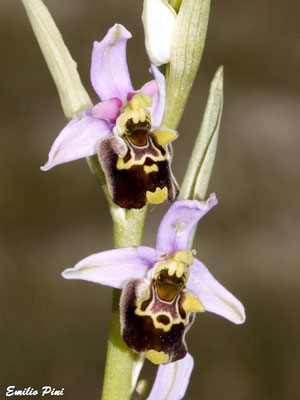 Ophrys holoserica ssp.appennina