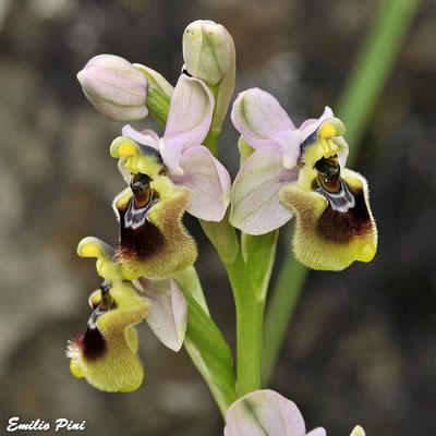Ophrys tentredinifera    Sardegna