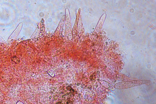 Strobilurus tenacellus (Pers.) Singer 1962 Cheilocistidi  (COMMESTIBILE) Foto Emilio Pini