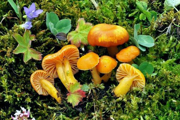 Hygrocybe laeta (Pers.) P. Kumm. (COMMESTIBILE) Foto Emilio Pini