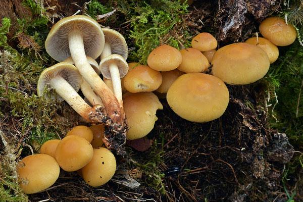 Hypholoma capnoides (Fr.) P. Kumm. (COMMESTIBILE) Foto Emilio Pini