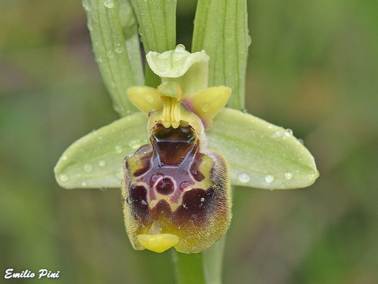 Ophrys holoserica subsp. posido