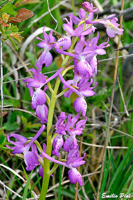 Orchis mascula x Orchis provincialis