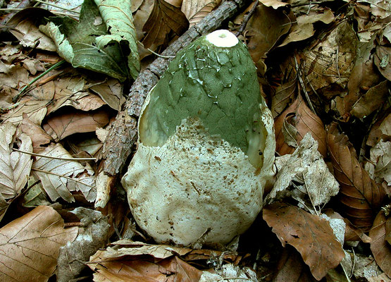 Phallus impudicus L. 1753 (NON COMMSTIBILE) foto Emilio Pini