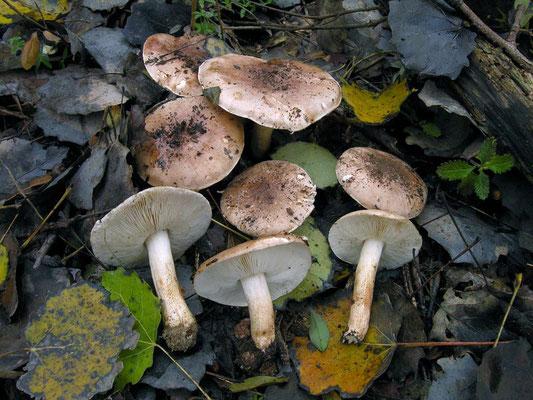Tricholoma populinum J.E. Lange 1933 (COMMESTIBILE) Foto Emilio Pini