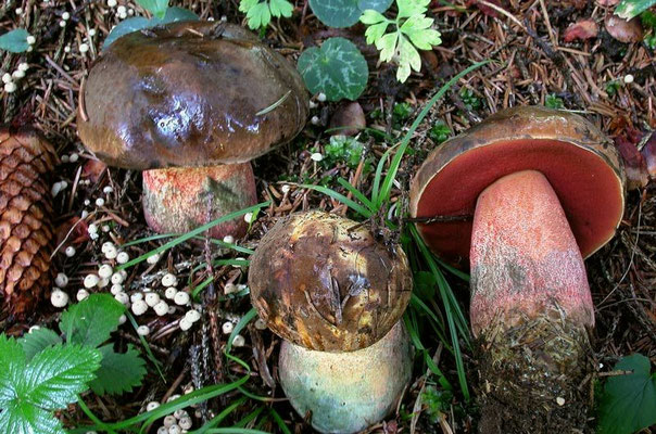Boletus erythropus Persoon ss. Fries (COMMESTIBILE) Foto Emilio Pini