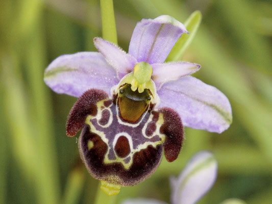 Ophrys linearis