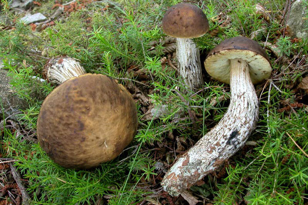 Leccinum carpini (R. Schulz) M.M. Moser ex D.A. Reid  (COMMESTIBILE) Foto Emilio Pini