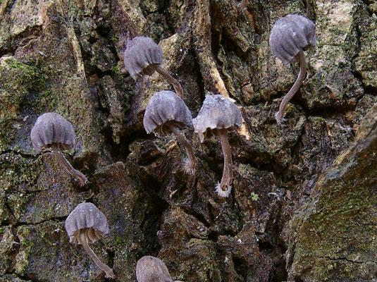 Mycena pseudocorticola Kühner 1938 (NON COMMESTIBILE) Foto Emilio Pini