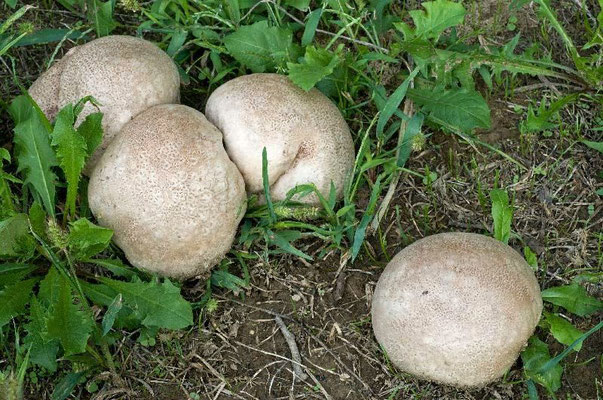 Calvatia fragilis Calvatia fragilis (Quél.) Morgan COMMESTIBILE                    Foto Emilio Pini
