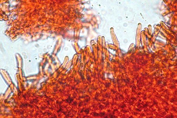 Lactarius romagnesii Bon PILEIPELLIS (NON COMMESTIBILE) Microfoto Emilio Pini